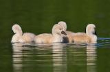 Swans-13