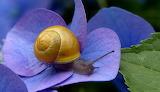 Snail on Hydrangea flower