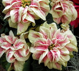 Poinsettia 'Winter Rose Marble'