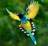 Blue Magpie, Taiwan
