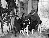 Cows 1954