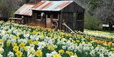 daffodil hill, california