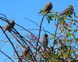 House Sparrows - Hey we gotta eat too ya know!