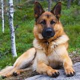 King Shepherd...