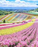 Colorful farmland in Japan!