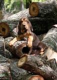 Cute Bloodhound puppy 5