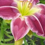 daylily heart