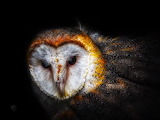 Birds - Barn Owl 2