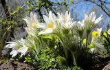 White Anemone flowers spring