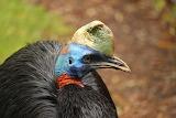 rothalskasuar bird