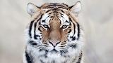 Tiger-big-cat
