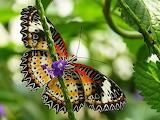 Butterfly - Papallona