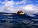 Green-sea turtle with rainbow by bo-blinski-master-honu