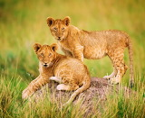 ❤️Lion Cubs...