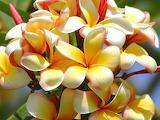 Plumeria frangipani tropical flower