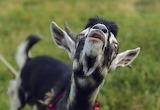 Goat-