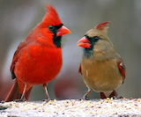 Pair of Cardinals in Latham New York USA