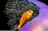 Clown Fish in South Maldives