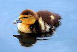 Duckling...