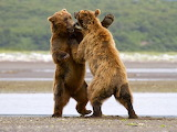 Fighting Grizzly bears