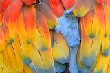 Colours-colorful-macaw feathers