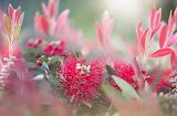 melaleuca bottlebrush macro