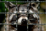 RacoonCaged