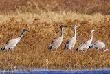 Cranes in grass Pungo Lake