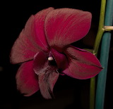 Dendrobium Velvet Melody