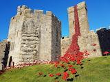 Weeping poppies at Caernarfon Castle - Wales