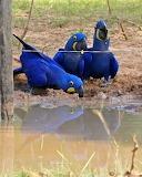 Guacamais - Macaw