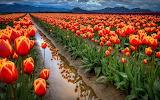 ☺ Beautiful field of Tulips...