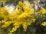 JACKSCRAP photography - Australian emblem - golden wattle