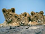 Baby-lions-animals