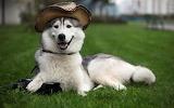 Perro esquimal
