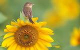 ☺ Bird and Sunflower...