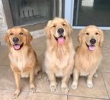 Three Little Goldens