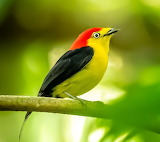 Bird of the Amazon rain forest