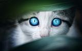 Cats - Blue eyes like the sky
