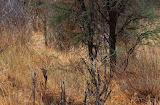 Image062 voyez vous l'impala
