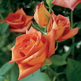 ^ Wildfire Hybrid Tea Rose