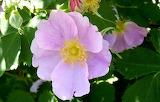 Wildflower Wild Rose