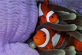 Colorful clownfish from Microsoft Jigsaw by auricle99