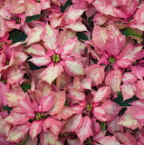 Poinsettia 'Sparkling Punch'