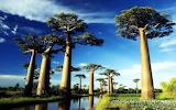 baobab trees hi-res
