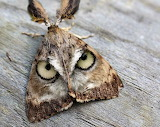 Owl faced moth