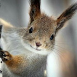 "Animals tumblr mohnblumesworld squirrel ""Albert's squirrel"""