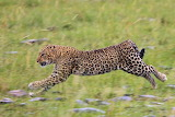 Leopard in motion