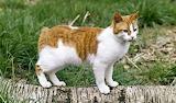 Orange & white tabby cat breeds