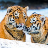 Snow Tigers...